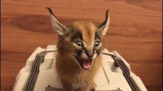 Cat Sounds Like A Lazer Beam