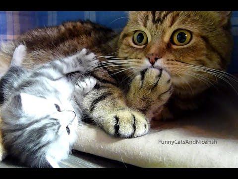 החתלתולים החמודים האלה צריכים לעבוד על כישורי האקרובטיקה שלהם...