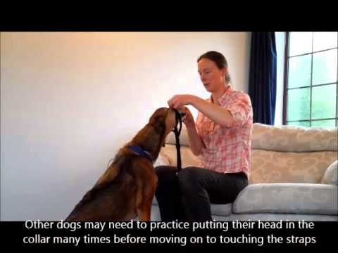 Teaching A Dog To Be Happy Wearing A Head Collar