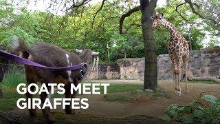 Tiny Goats Visit Giraffes