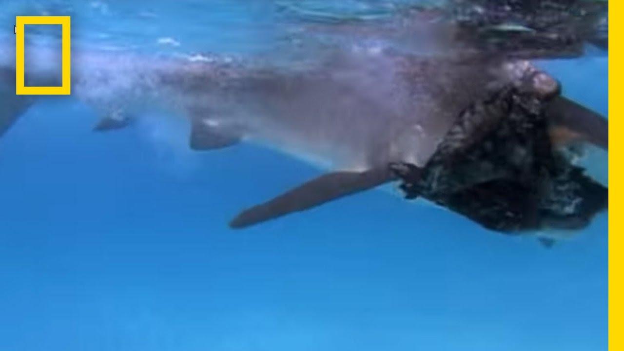 Tiger Shark vs. Albatross | National Geographic thumbnail