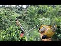 Pikat Burung Kutilang emas di alam liar menggunakan suara dan pulut lengket
