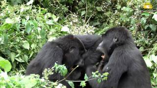 preview picture of video 'Berggorillas im Bwindi Nationalpark, Uganda - © Abendsonne Afrika'