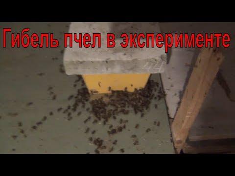 Гибель пчел в эксперименте  Заражение восковой молью