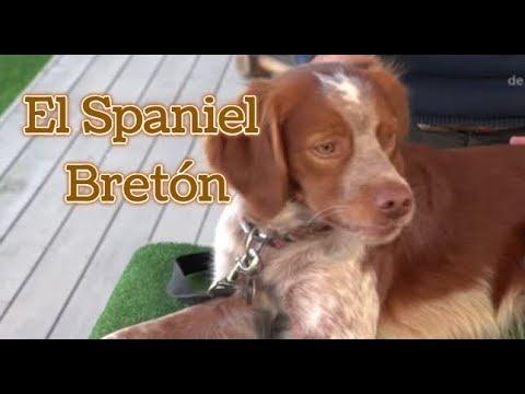 PERRO, El Spaniel Bretón