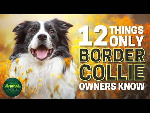 12 Things Only Border Collie Dog Owners Understand