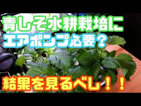 , title : '【青しそ水耕栽培】酸素が必要か新検証!!エアポンプで空気送ったら成長が凄いことになるのがやってみた
