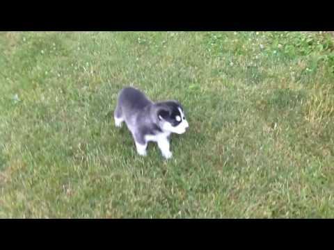 Rock siberianhusky male puppy