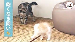 ちびっ子ニャンコが、先輩ニャンコに闘いを…!全然あきらめません…🐱💕PECOTV