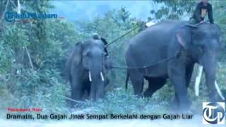 Sinaron dan Indah Berhasil Mengevakuasi Gajah Liar
