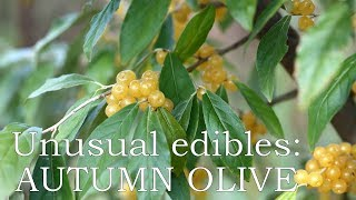 Unusual edibles: Autumn olive 'Amber'