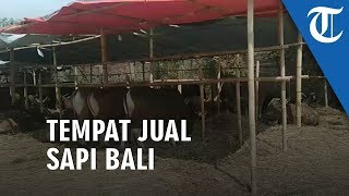 Video Bli Sapi, Lapak Penjualan Hewan Kurban Jenis Sapi Bali Terbesar di Jakarta