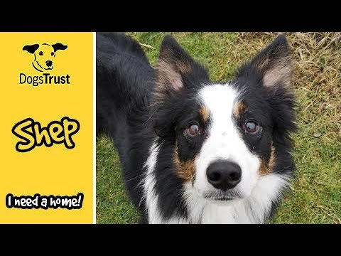 Shep is a sweet chap looking for a home | Dogs Trust Shoreham