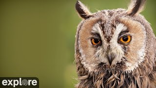 Long-Eared Owl powered by EXPLORE.org