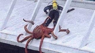 Как правильно ловить осьминога