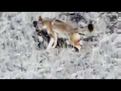 Bobcat Vs Coyote