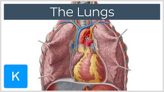 Lungs: Definition, Location & Structure - Human Anatomy | Kenhub
