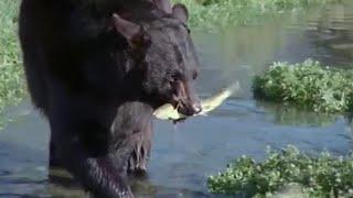 Bear and Otter Fishing Lesson   Big Sky Bears   BBC