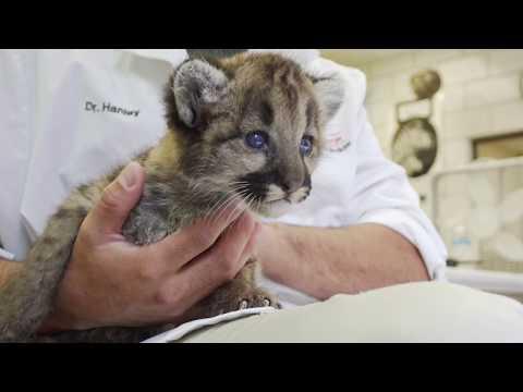 Cougar Cub Feeding!