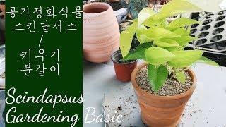 스킨답서스 키우는 법 / 분갈이 흙 / 실내 공기정화식물 Scindapsus Plant Care
