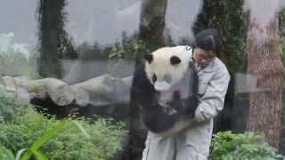 20140406保育員姊姊接圓仔下班回家(The Giant Panda Yuan Zai)