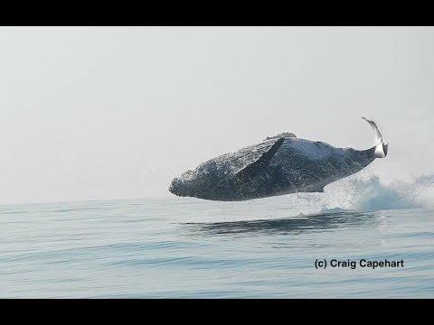 """Veja uma baleia jubarte de 40 toneladas """"dançar"""" no mar"""