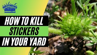 How to kill stickers in your yard