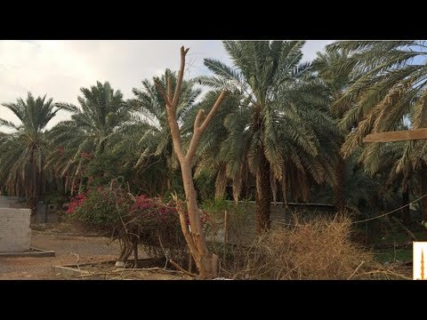Download Disinilah Tempat Nabi ﷺ Menanam Pohon Kurma Dengan Tangannya Yang Mulia HD Mp4 3GP Video and MP3