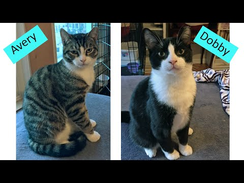 Avery and Dobby, an adoptable Domestic Short Hair in South Ozone Park, NY