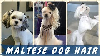 30 Top ✨ Beauty Maltese Dog Hairstyles