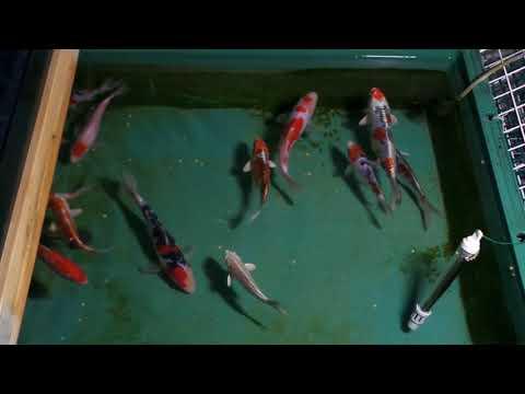 新潟県出身の錦鯉