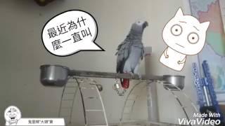 故意逗大頭生氣… 這是一個鳥寶罵主人的故事………… #動作表情非常到位… #演技派的😂😂