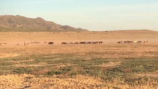 Onaqui Mountain Herd, Wild Mustangs