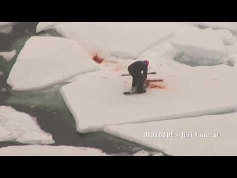 被殺死狀慘不忍睹,小海豹在屠殺中哀號