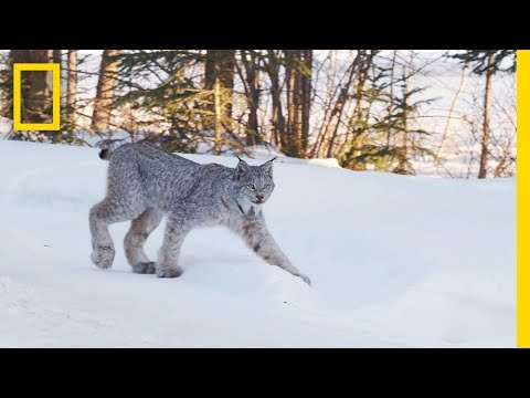Snow DNA Reveals New Way to Track Animals in Winter | Short Film Showcase
