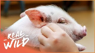 Britains First Performing Little Pig! | Wild Things Shorts