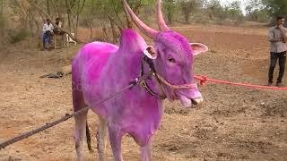 Sharyat bulls of Basappa Gondikara sakin Gadigawada