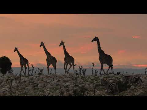 Legendary Expeditions - A journey of giraffe