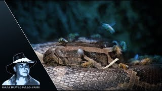 Feral Bees Arrive At Python Nest 01