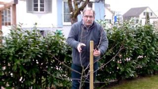 Schneiden Im Garten 2011 Herr Inderkum 8v10 Mirabellenbaum Schnitt