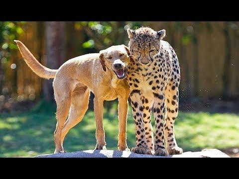 L'improbable amitié entre un guépard et... un labrador !