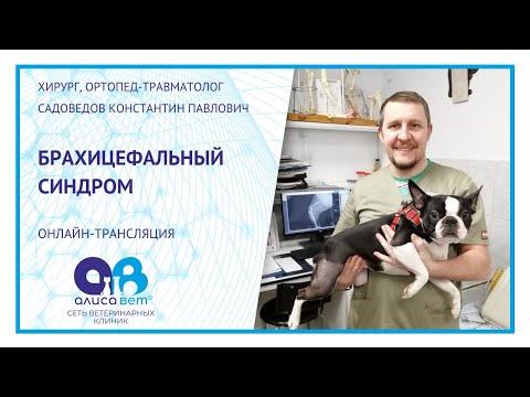 Брахицефалический синдром у собак (вебинар)
