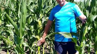 Кукуруза ранняя ОРЖИЦА 237 МВ ФАО 240, Урожайность гибрида 12,0 т/га, Засухоустойчив и хорошая влагоотдача. от компании ТД «АВС СТАНДАРТ УКРАЇНА» - видео 2