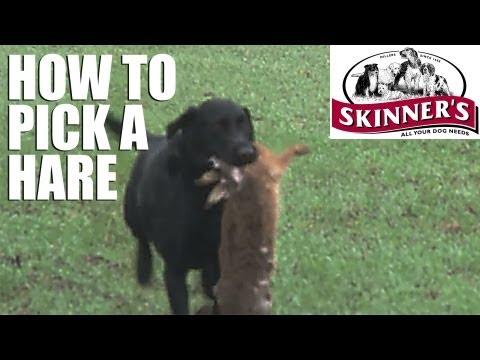 Gundog training tips – how to pick a hare