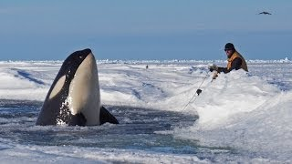 Dramatic raw footage of NOAA researchers tagging orcas with cross bows (killer whales) in Antarctica | Kholo.pk