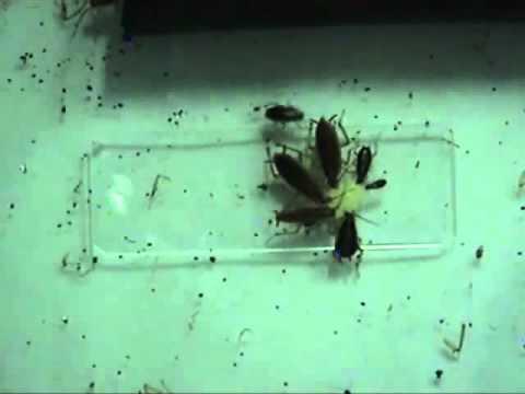 Szarvasmarha és juh parazita