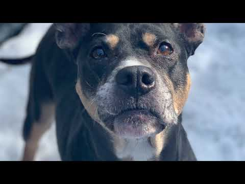 Sheeba, an adopted Pit Bull Terrier Mix in Chicago, IL_image-1