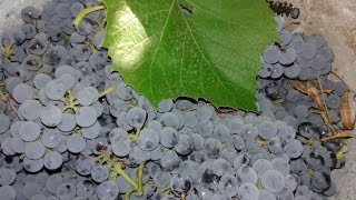 Виноград и арбуз,тоннель и тень во дворе