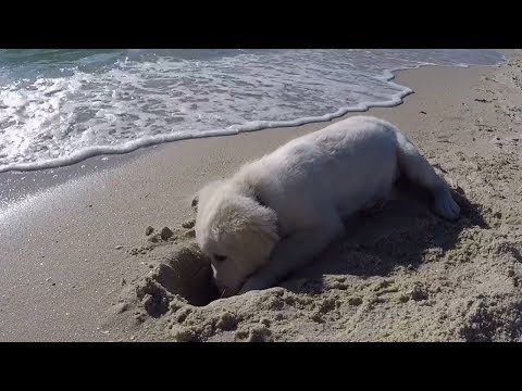 Adorable Puppy Shouts at the Ocean for Destroying His Hole