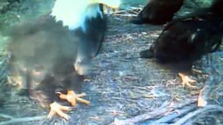 Decorah Eagle Baby Landing